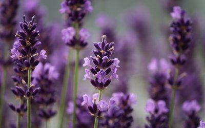 Seafoam Lavender Company & Gardens